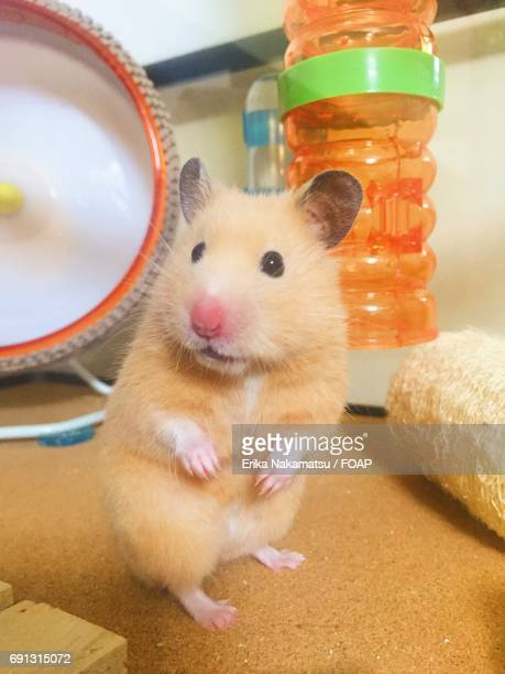 Close-up of golden hamster