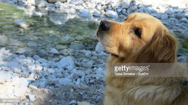 Close-Up Of Golden Retriever On Field