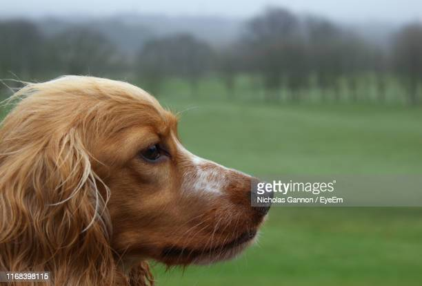 close-up of golden retriever - cocker spaniel stock pictures, royalty-free photos & images