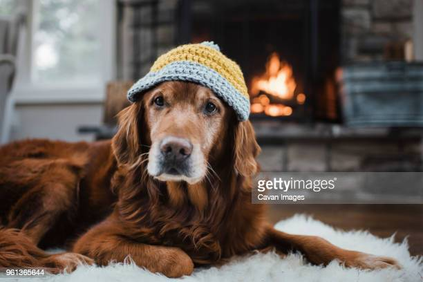 close-up of golden retriever with knit hat lying relaxing on rug - brown hat stock pictures, royalty-free photos & images