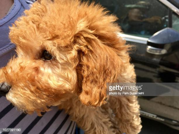 close-up of goldendoodle puppy held in woman's arms - goldendoodle stock-fotos und bilder