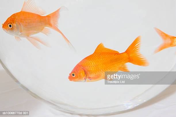 Close-up of goldfish in bowl