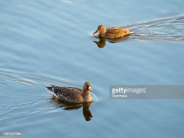 close-up of goose and duck floating on water - mallard duck stock pictures, royalty-free photos & images