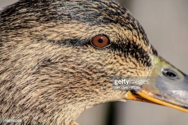 close-up of goose(anser domesticus) - domestic animals ストックフォトと画像