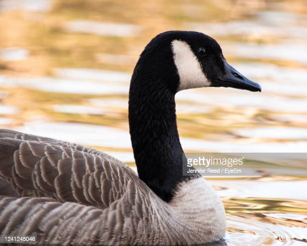 close-up of goose swimming in lake - jennifer reed stock pictures, royalty-free photos & images