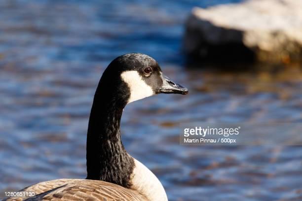 close-up of goose,geneva,illinois,united states,usa - geneva illinois stock pictures, royalty-free photos & images