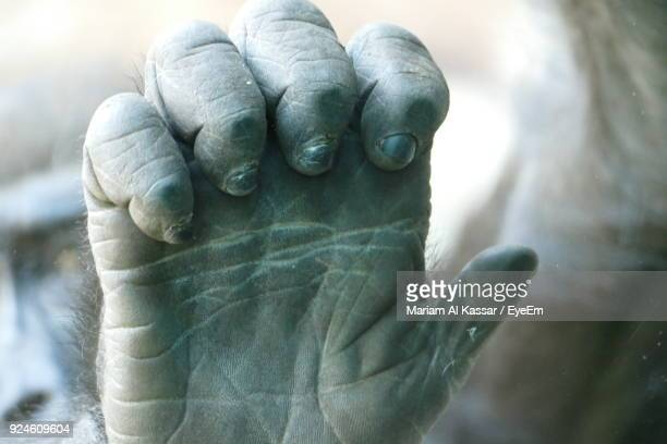 close-up of gorilla hand - gorilla hand stock photos and pictures