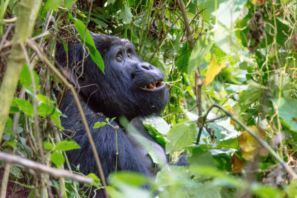 Close-up of gorilla looking away in forest,Uganda