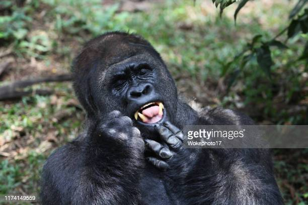 close-up of gorilla - ゴリラ ストックフォトと画像