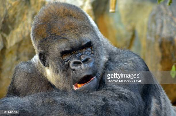 Close-up of Gorilla