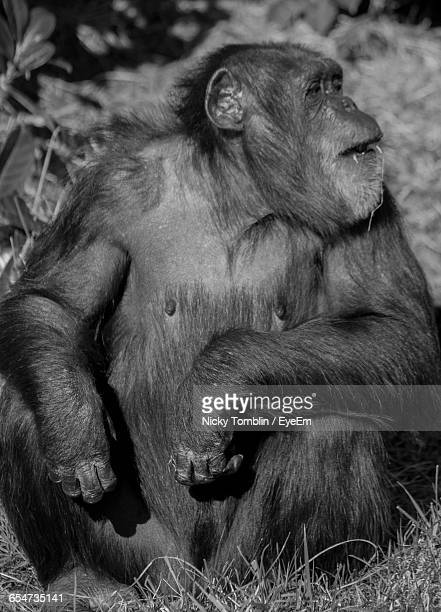 close-up of gorilla - chester zoo stock pictures, royalty-free photos & images