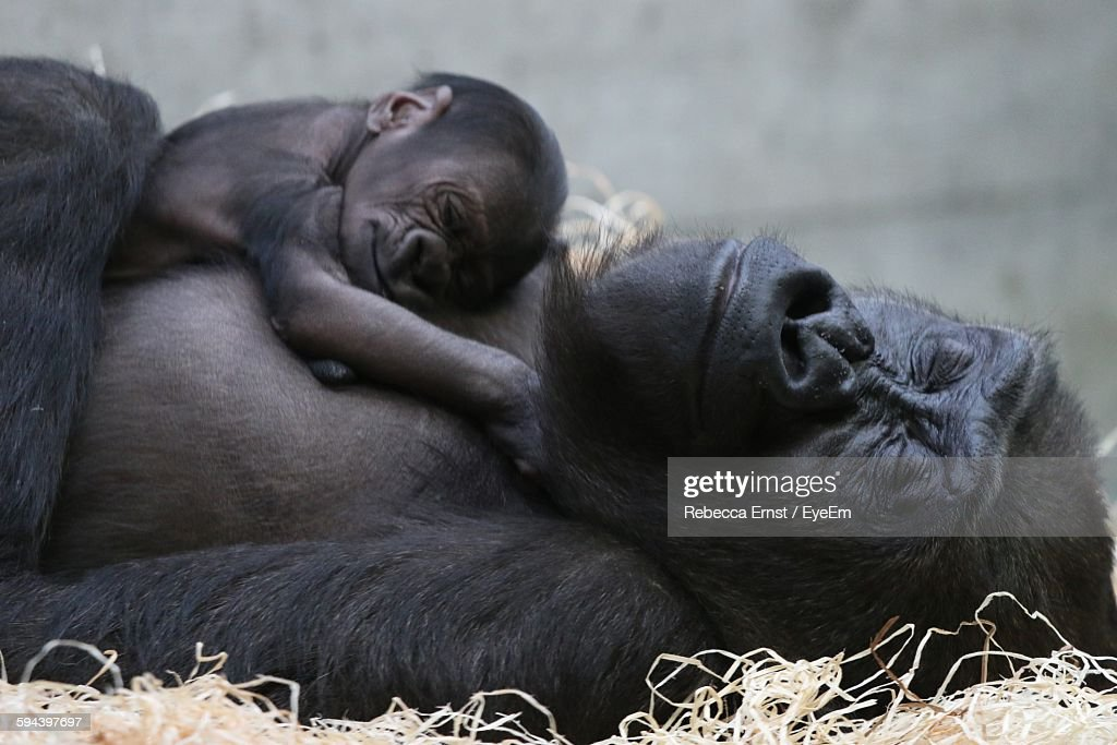 Close-Up Of Gorilla With Infant Relaxing On Field : Stock-Foto