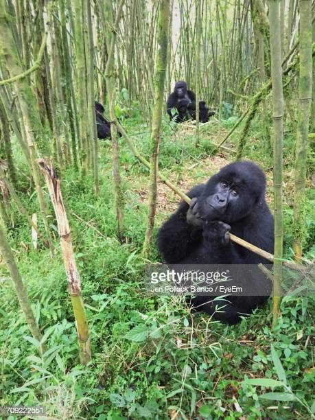 Close-Up Of Gorillas At Forest