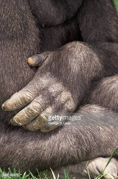 close-up of gorilla's paw - monkey paw stock photos and pictures