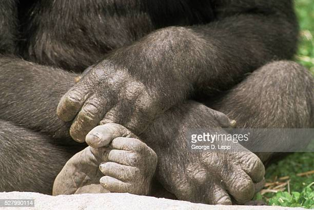 close-up of gorilla's paws - monkey paw stock photos and pictures