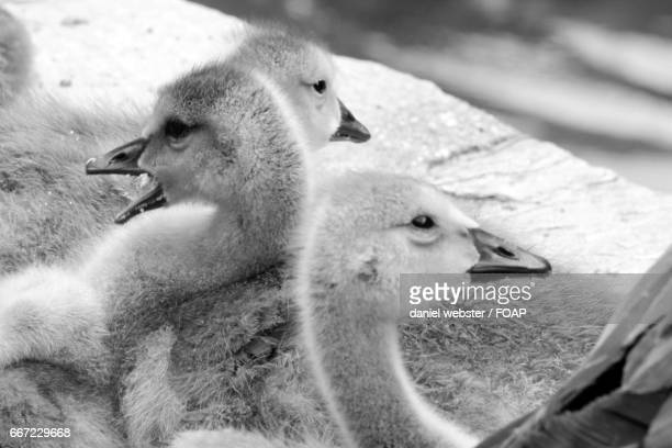 close-up of gosling - the webster stock pictures, royalty-free photos & images