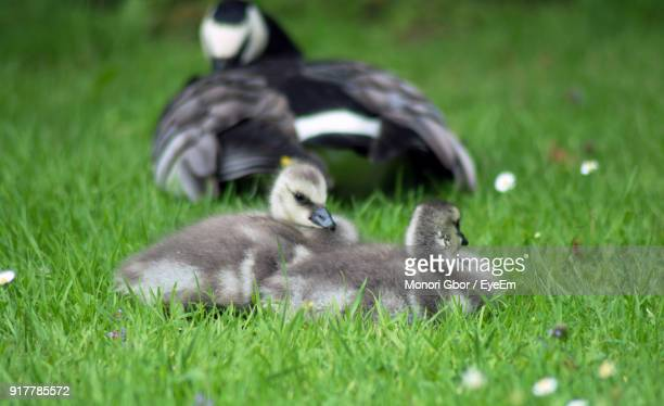Close-Up Of Gosling With Canada Goose On Field