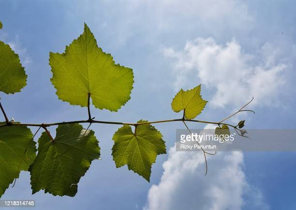 close-up of grape leaves against blue sky - grape leaf stock pictures, royalty-free photos & images