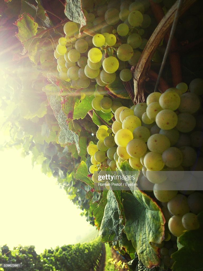 Close-Up Of Grapes Growing At Vineyard Against Sky : Stock-Foto