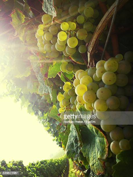 close-up of grapes growing at vineyard against sky - roman pretot fotografías e imágenes de stock