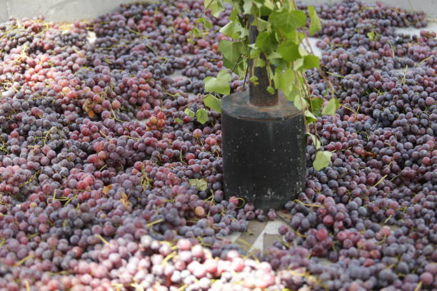 Close-Up Of Grapes Growing In Potted Plant Ready To Be Trodden By Human Feet