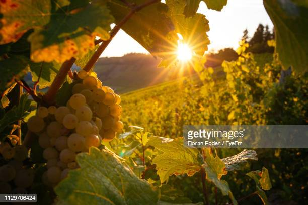 close-up of grapes growing in vineyard during sunset - ラインラント=プファルツ州 ストックフォトと画像
