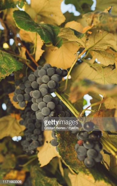 close-up of grapes growing in vineyard - bortes stock-fotos und bilder