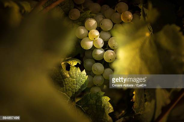 close-up of grapes growing in vineyard - druif stockfoto's en -beelden