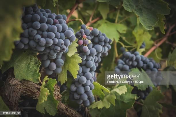 close-up of grapes growing in vineyard,gratallops,tarragona,spain - uvas cabernet sauvignon - fotografias e filmes do acervo