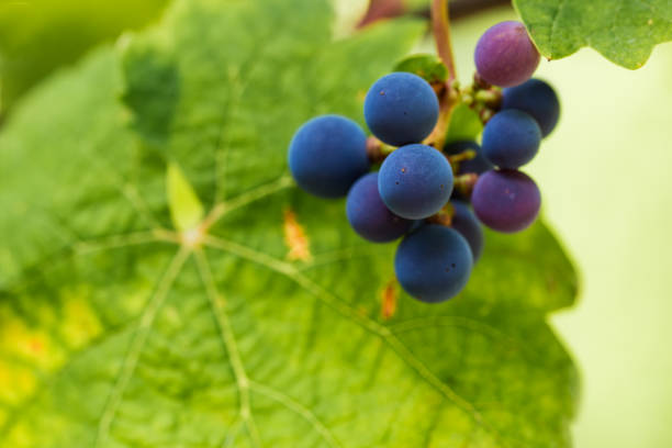 Close-up of grapes growing on plant,Plasencia,Extremadura,Spain