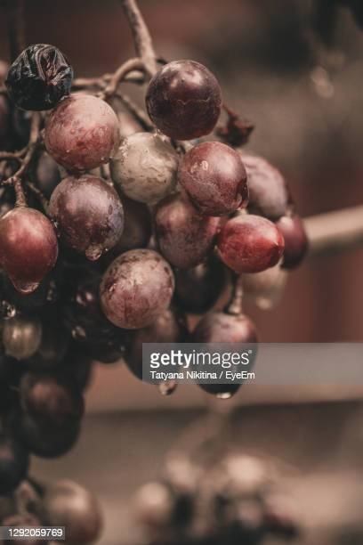 close-up of grapes growing on tree - nikitina stock pictures, royalty-free photos & images