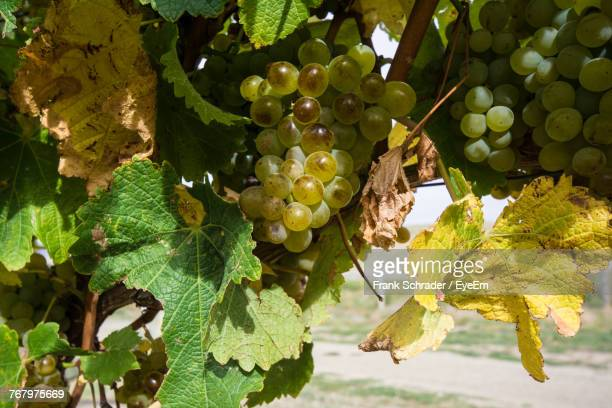 Close-Up Of Grapes Growing On Vine