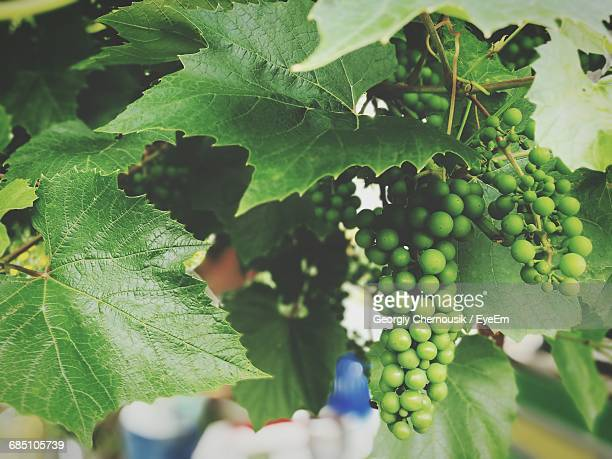 Close-Up Of Grapes Growing Outdoors