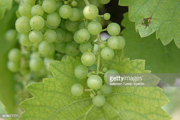 close-up of grapes hanging outdoors - solomon turkel stock pictures, royalty-free photos & images
