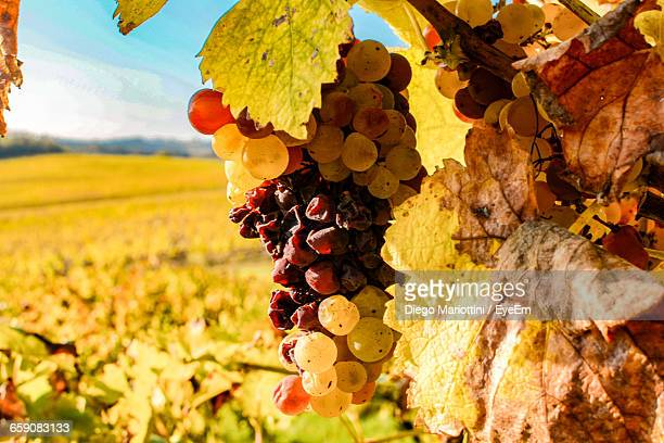 Close-Up Of Grapes On Field