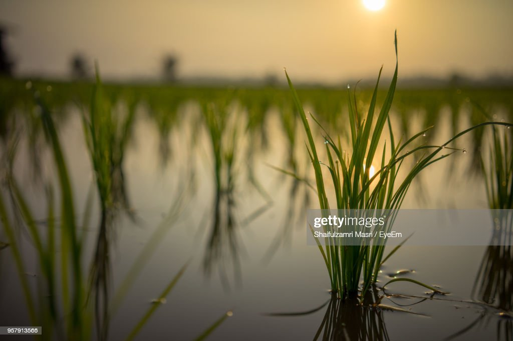 Close-Up Of Grass Against Lake During Sunset : Stock Photo