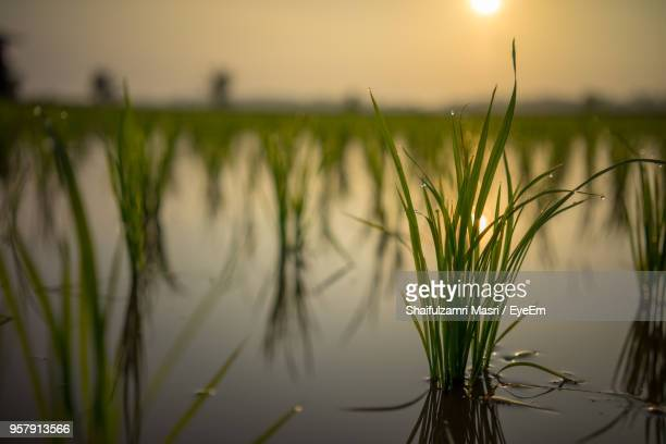 Close-Up Of Grass Against Lake During Sunset