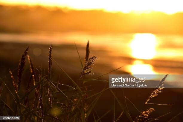 Close-Up Of Grass Against Sea During Sunset