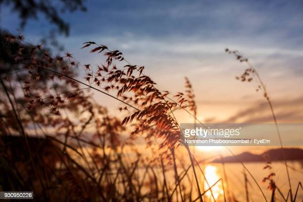 close-up of grass against sky during sunset - provincia di songkhla foto e immagini stock