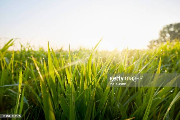 close-up of grass and dew against clear sky during sunrise in the morning - gras stock pictures, royalty-free photos & images
