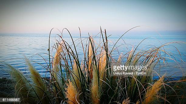 Close-Up Of Grass At Seashore