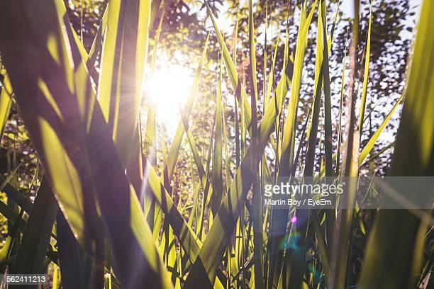 Close-Up Of Grass Growing Against Bright Sun