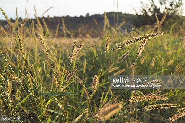 close-up of grass growing in field - haut photos et images de collection