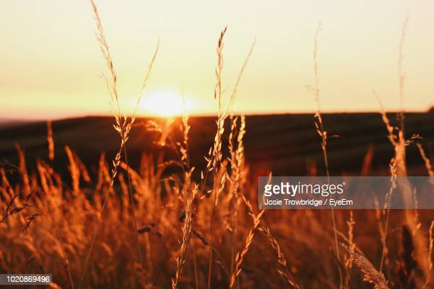 close-up of grass growing on field against sky during sunset - josie photos et images de collection