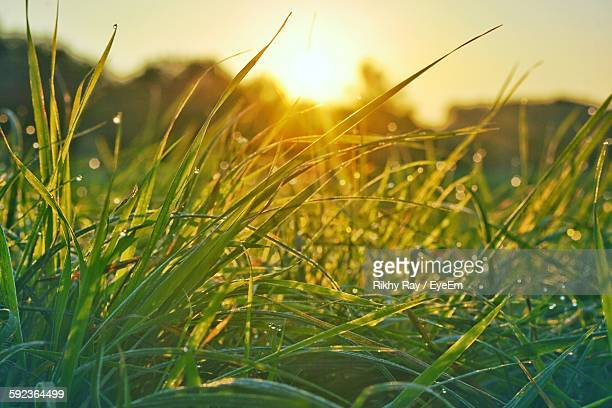 Close-Up Of Grass Growing On Field During Sunset