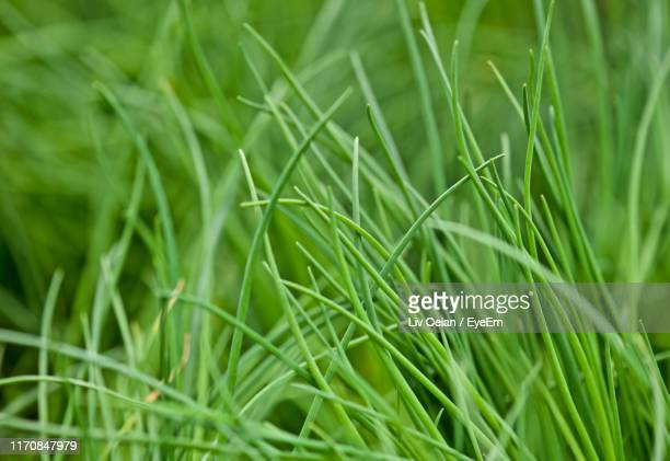 close-up of grass growing on field - チャイブ ストックフォトと画像