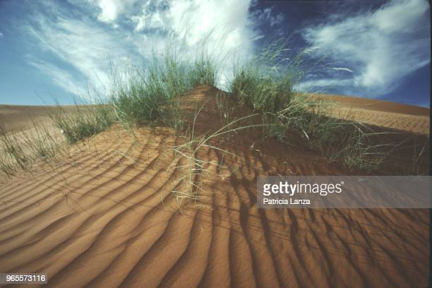 Closeup of grass on a sand dune in the Kalahari Desert South Africa 1985