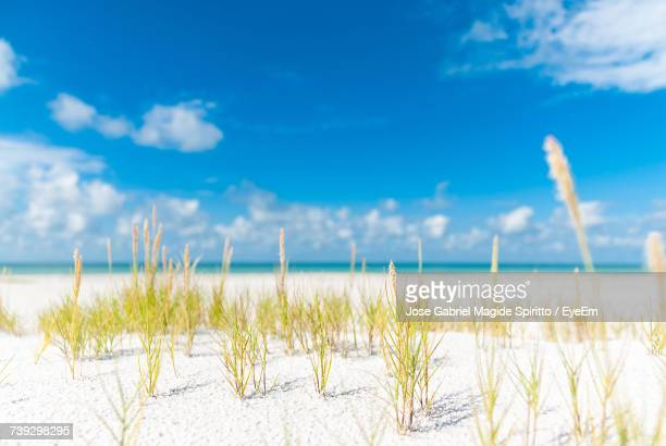 close-up of grass on beach against blue sky - siesta key bildbanksfoton och bilder