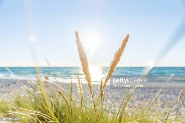 close-up of grass on beach against clear sky - reed grass family stock photos and pictures