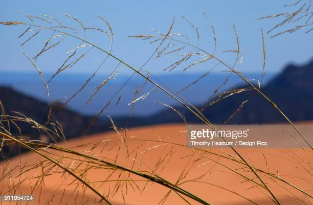 Close-Up Of Grasses Growing In The Sand At Coral Pink Sand Dunes State Park Near Kanab, Utah In Late Summer, Landscape And Blue Sky Beyond
